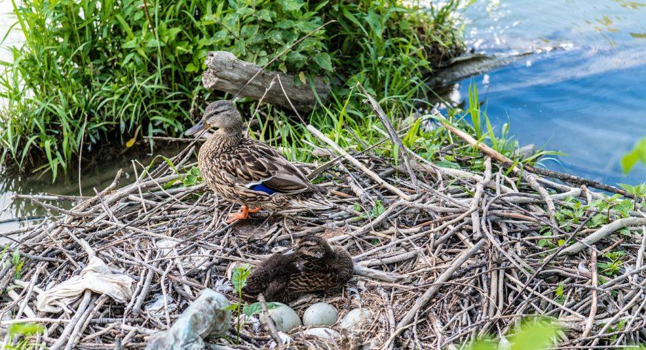 Abandoned duck eggs