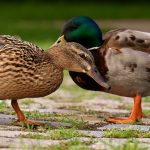 Are Muscovy ducks good to eat