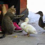 Best ducks for eating