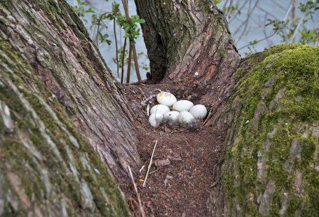 Best egg laying ducks