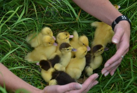 Can baby ducks eat chick starter