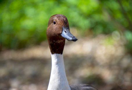 Can ducks eat bird seed