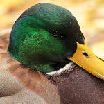 Can ducks eat potato peelings