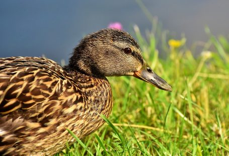 Can ducks eat wild bird seed