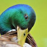 Can you eat mallard ducks