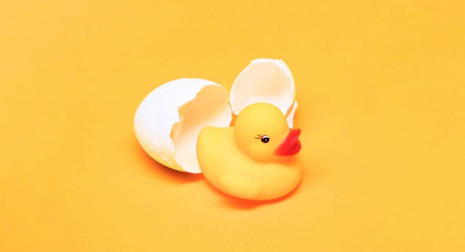Duck egg fertilization
