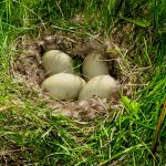 Duck egg hatching process