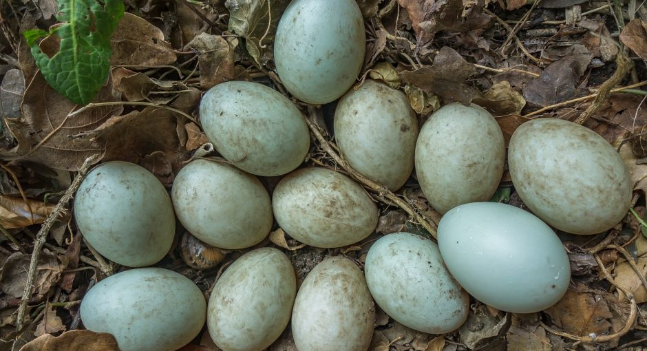 Duck egg laying