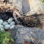 Duck eggs alkaline