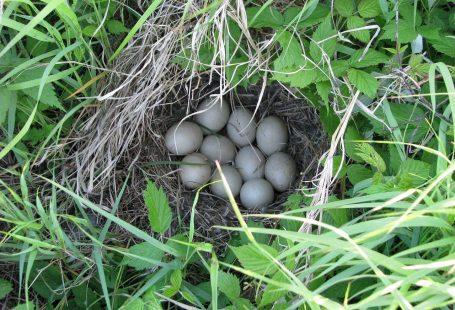 Duck eggs hatching