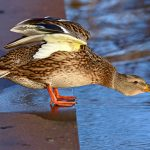 Duck gets eaten by fish