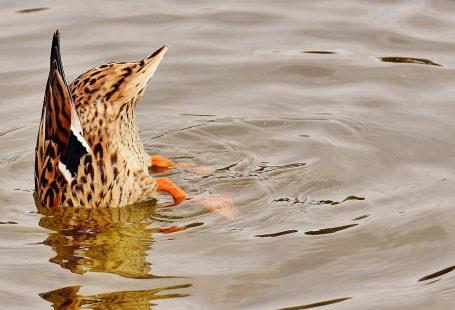 Ducks eat fish