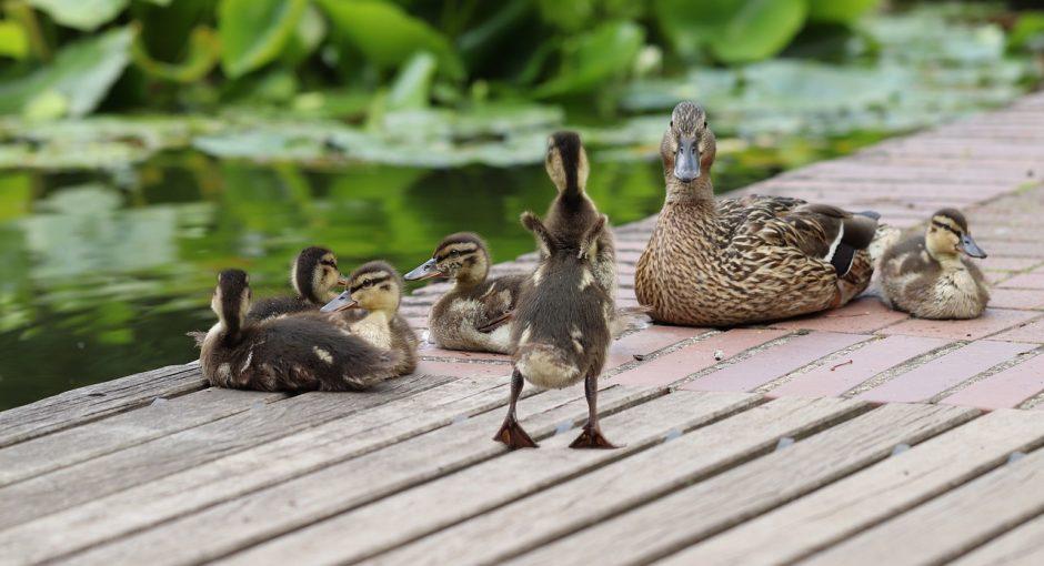 Mallard duck eating Habits