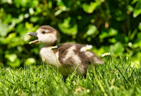 What can baby ducks eat