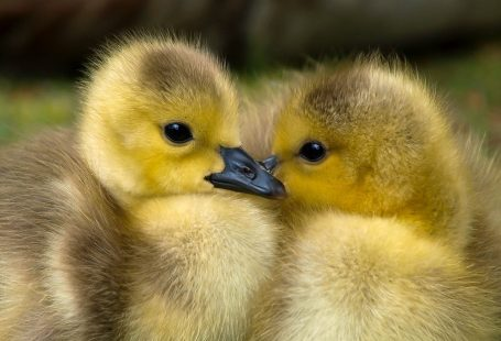 What do baby mallard ducks eat