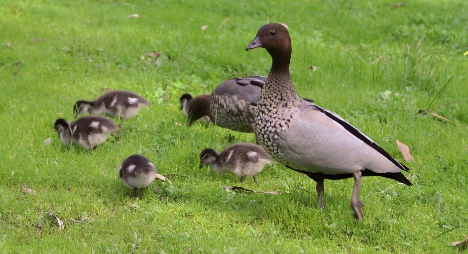 What do baby wood ducks eat
