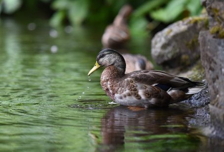 What do ducks eat in ponds