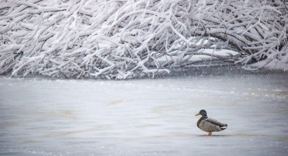 What do ducks eat in winter