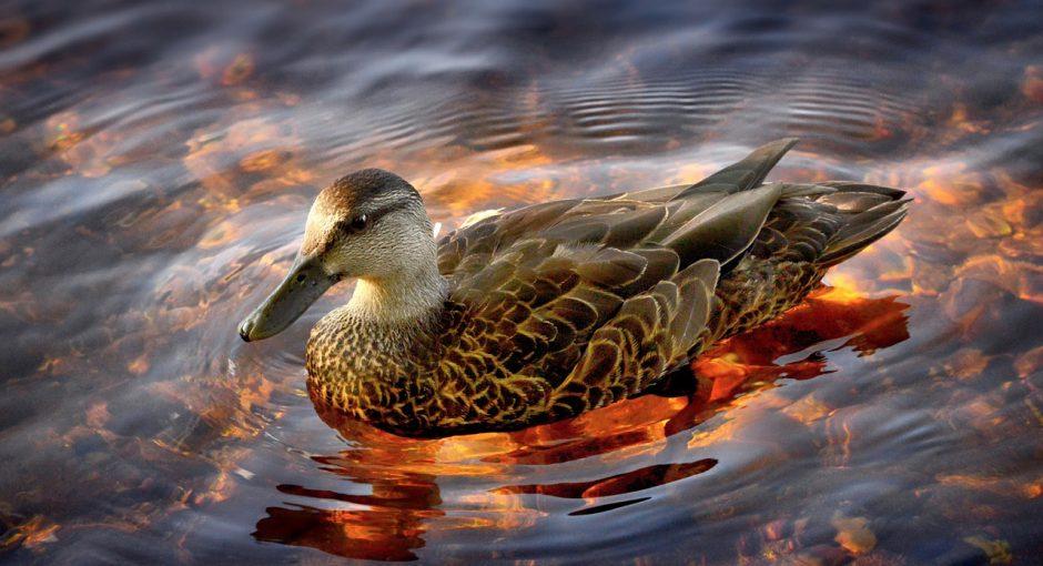 What do eider ducks eat