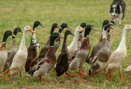 What do indian runner ducks eat