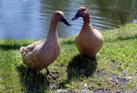 What do khaki campbell ducks eat