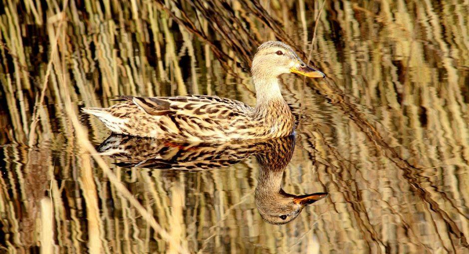 What do wood ducks eat