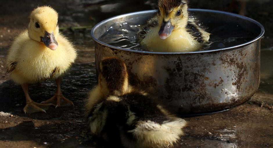 What does baby ducks eat