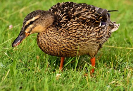 What does ducks eat
