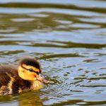 What ducklings eat