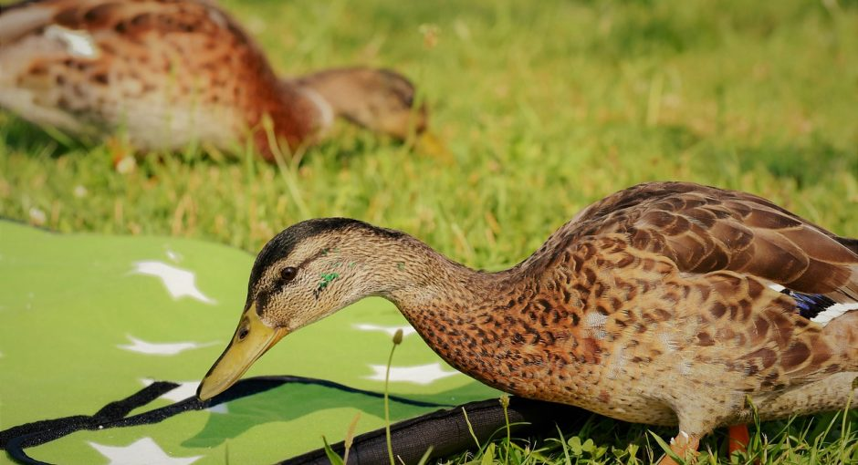 What ducks like to eat