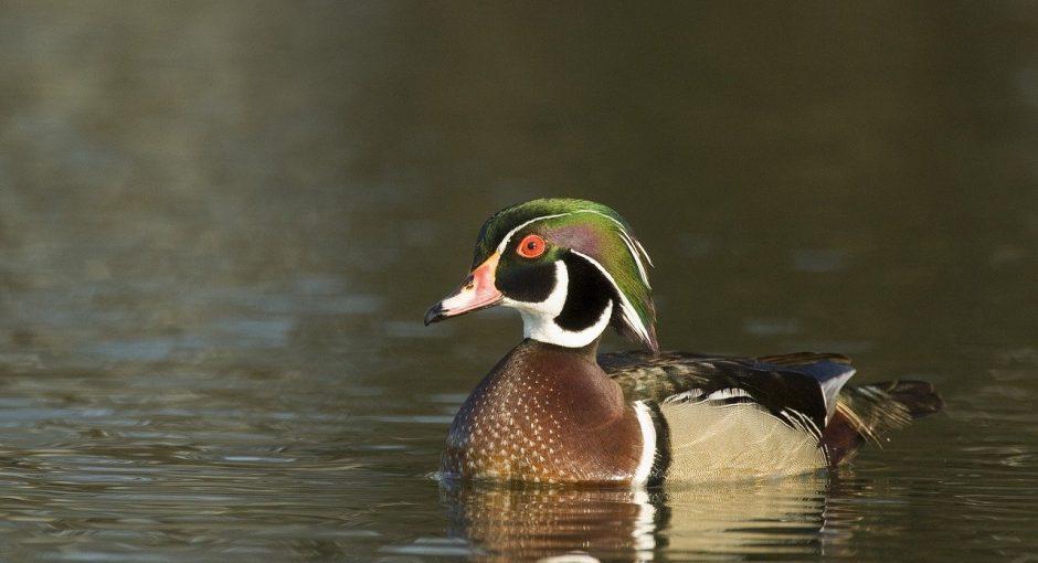 What eats wood ducks