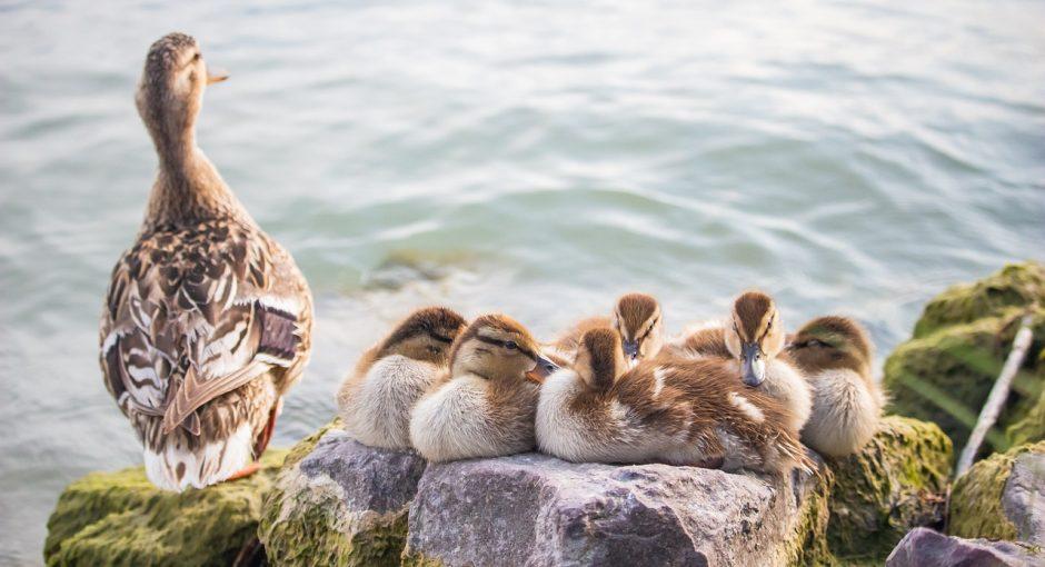 can ducks eat cheerios