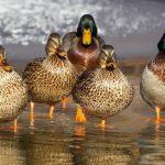 can ducks eat corn