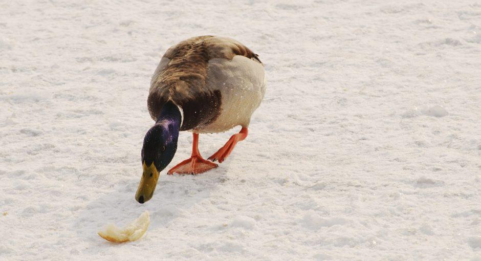 can ducks eat moldy bread