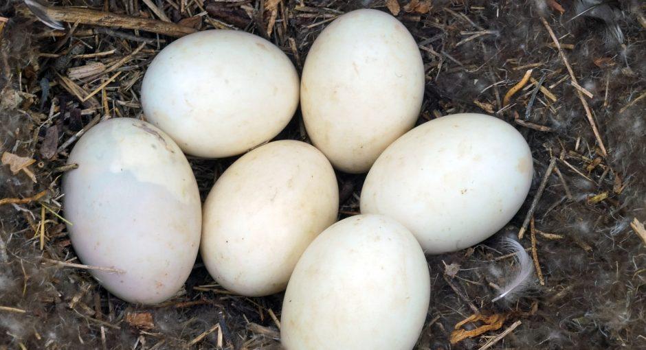 ducks eggs